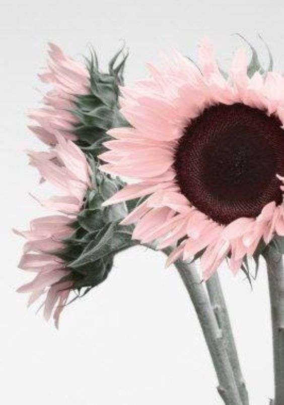 Pink Sunflower.jpg
