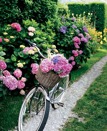 Bike and hydrangea.jpg